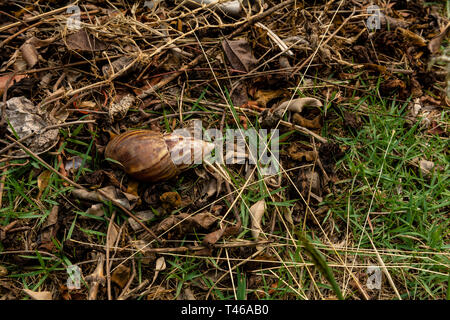 Achatina fulica, the African Giant Snail, on the ground, outside, shell only, top view, copyspace - Stock Image