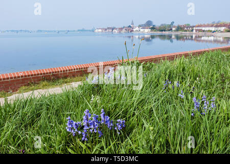Bluebells growing in grass by the sea wall around Bosham Creek in Chichester harbour at high tide. Bosham, West Sussex, England, UK, Britain - Stock Image
