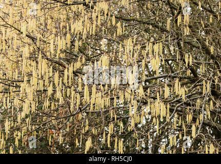 Hazel bush laden with catkins in January - Stock Image