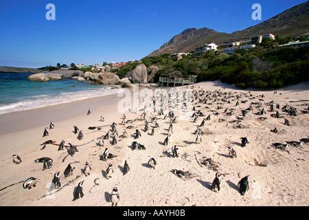 SA simon s town boulders beach jackass penguin colony on the beach penguins breeding - Stock Image