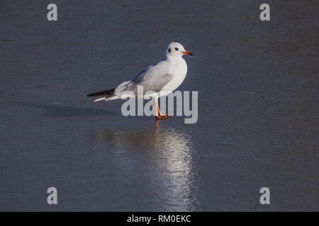 Black headed seagulls (chroicocephalus ridibundus) in winter plumage standing on a frozen lake in winter - Stock Image