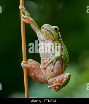 Close up of european tree frog (Hyla arborea) hanging on a straw - Stock Image