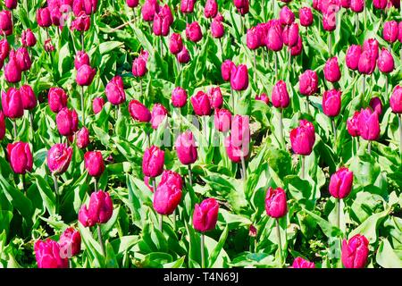 Amsterdam, Netherlands - April 2019: Bright pink tulips in the Vondelpark on a spring afternoon. - Stock Image