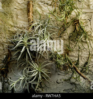 Air Plants, Tillandsia,  Against White Wall - Stock Image