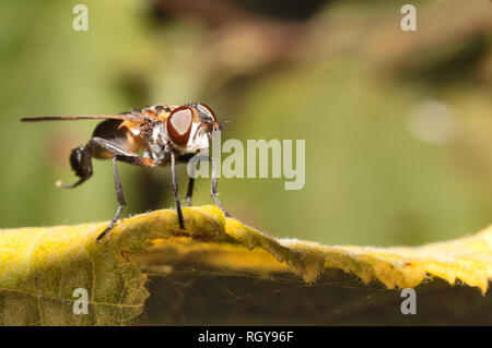 Fly cleans its paws on a leaf - Stock Image