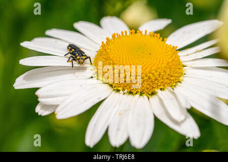 7 spotted ladybird (Coccinella septempunctata) larva covered in pollen from a large daisy flower (oxeye daisy, leucanthemum vulgare) - Stock Image