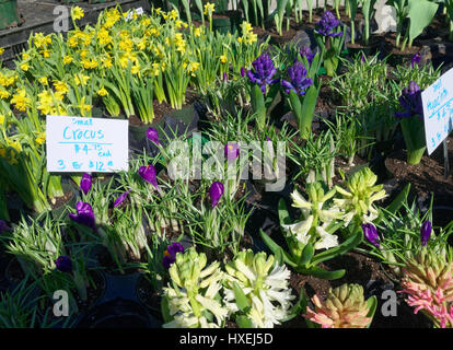 Blooming bulbs in yellow and purple. Plants for sale at the farmer's market. - Stock Image