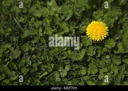 One yellow dandelion in grass and clover in spring.  Location is Chicago in the American Midwest. - Stock Image