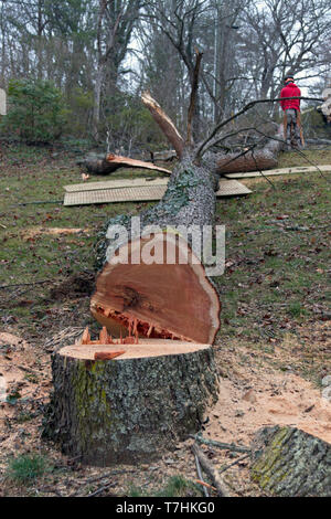 An old cherry tree cut down by a chain saw lies along the ground while an arborist cuts it into smaller segments so it can be fed into a wood chipper - Stock Image