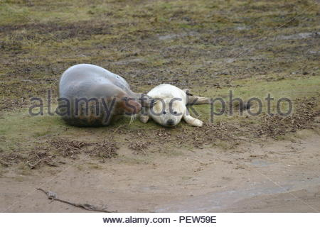 Female Grey Seal touching her pup with her flipper. - Stock Image
