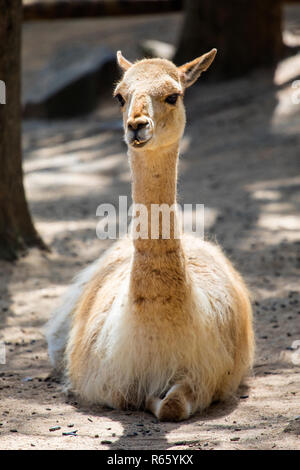 A Vicuna in a zoo. - Stock Image