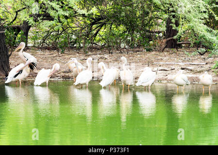 Great white pelicans taking rest in shade on a hot summer day. - Stock Image