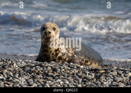 Grey Seal, Kegelrobbe, Halichoerus grypus, Helgoland, female seal after mating - Stock Image