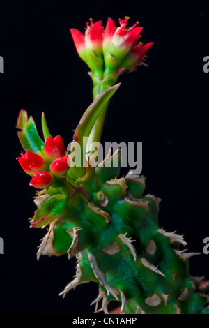 Cactus Flower and Buds - Stock Image