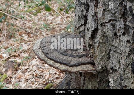 Oak tree Fungus, Ganodema - Stock Image