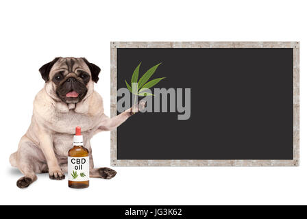 smiling pug puppy dog with bottle of CBD oil and hemp leaf, with blank blackboard sign, isolated on white background - Stock Image