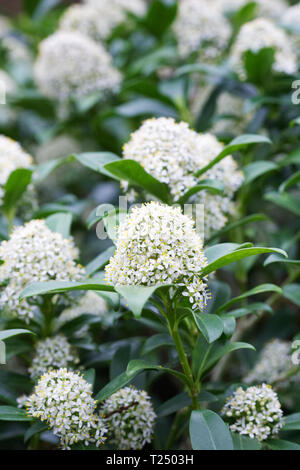Skimmia japonica 'Fragrans' flowers. - Stock Image