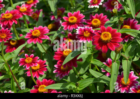 Close up of a flower border with colouful flowering Zinnia 'Zany Rose Pico' - Stock Image