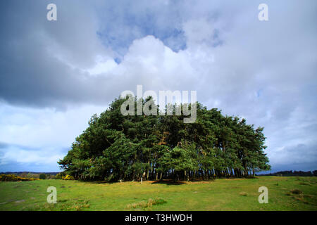 Small copse, called Friends Clump, in the Ashdown Forest, home to the Winnie the Pooh stories,  East Sussex, UK - Stock Image
