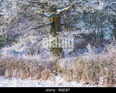 A tree covered in hoar frost on a snowy winter's day. - Stock Image
