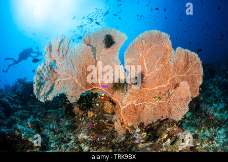 Seafan in Coral Reef, Annella mollis, Lissenung, New Ireland, Papua New Guinea - Stock Image