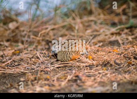 male Jungle Bush Quail, (Perdicula asiatica), Keoladeo Ghana National Park, Bharatpur, Rajasthan, India - Stock Image