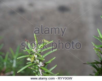 Grasshopper nymphs fed on a rosemary plant - Stock Image