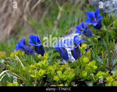 Trumpet Gentian (gentiana clusii), Dolomites, Italy - Stock Image