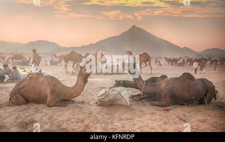 Camels eating breakfast in soft dawn light at the Pushkar Camel Fair in Rajasthan, north India. - Stock Image