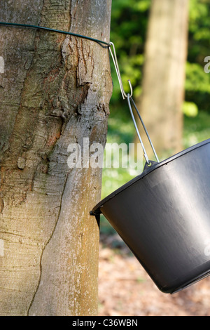 Trunk of a Sugar Maple (Acer saccharum) with a black bucket which is the way to get the sap for maple syrup. - Stock Image