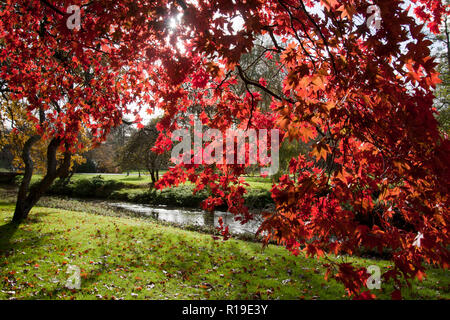 the vibrant colours of red maple tree (Acer rubrum) in autumn, Surrey, England - Stock Image