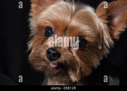 Cute Yorkshire Terrier with a bit of tongue showing. - Stock Image