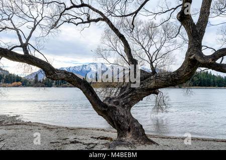 Willow Tree - Stock Image