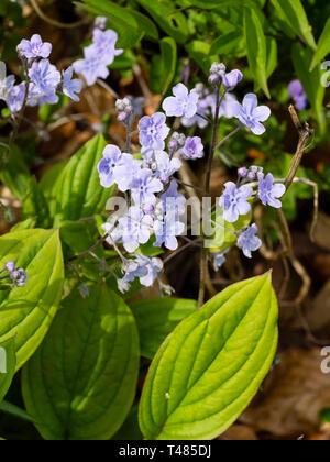 Pale blue flowers held in airy sprays of the spring flowering hardy perennial, Omphalodes cappadocica - Stock Image
