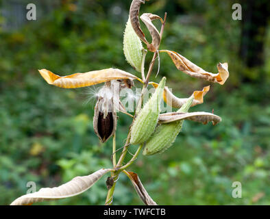 Close-up of the seed pods of the Common Milkweed (Asclepias syriaca) - Stock Image