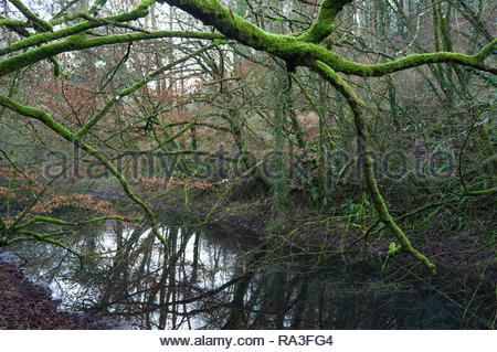 Tree growth taking over the route of the disused Thames & Severn Canal near Chalford in Gloucestershire, UK. - Stock Image