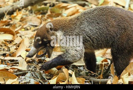 White-nosed coati (Nasua narica) trying to break open a live scorpion mud turtle (Kinosternon scorpioides). Tropical - Stock Image