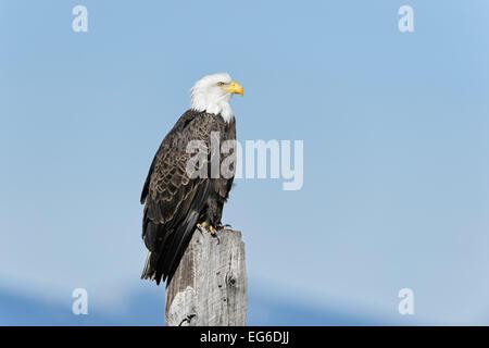A bald eagle on a fence post. - Stock Image