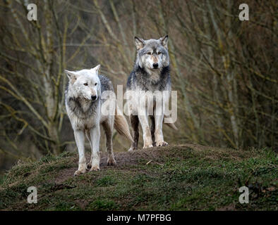 Alpha male (right) and female grey (gray) wolf(Canis lupus), aka thetimber wolf orwestern wolf. - Stock Image