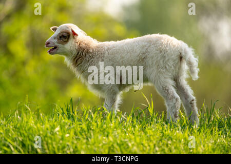 A lamb on a meadow - Stock Image