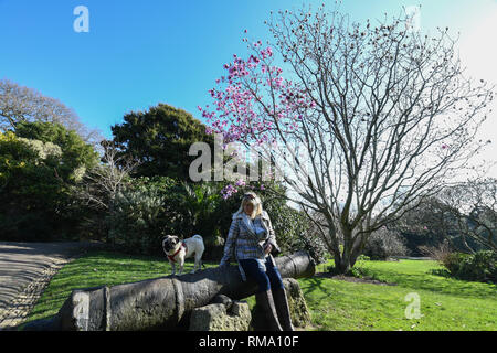 Penzance, Cornwall, UK. 14th Feb, 2019. UK Weather. The great gardens of Cornwall have officially declared spring, as they have 50 or more blooms on their Magnolia trees. Seen here Morrab public park in Penzance, which has a number of trees in flower in the warm sunshine. Credit: Simon Maycock/Alamy Live News - Stock Image