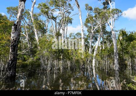 View of a paperbark swamp, Cape York Peninsula, Far North Queensland, FNQ, QLD, Australia - Stock Image
