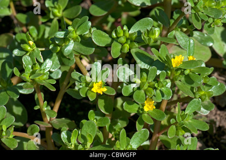 Common Purslane (Portulaca oleracea sativa), flowering plant. - Stock Image