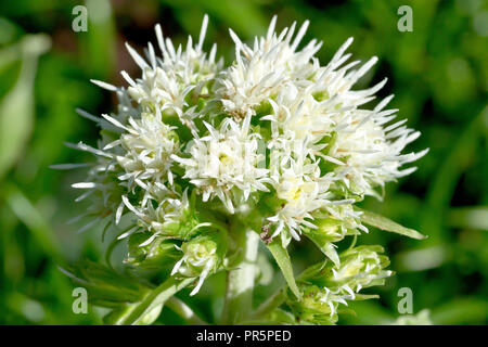 White Butterbur (petasites alba), close up of a solitary flower head of the male plant. - Stock Image