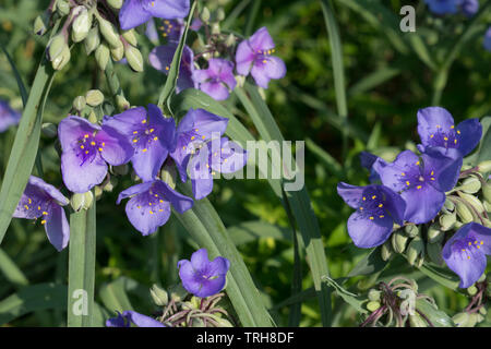 Tradescantia virginiana (spiderwort) is a perennial that grows up to 3' tall. The genus name honors John Tradescant (1570-1638) and his son John. - Stock Image