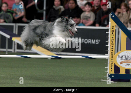 New York, USA. 9th Feb 2019. Duke, A Shetland Sheepdog, competing in the preliminaries of the Westminster Kennel Club's Master's Agility Championship. Credit: Adam Stoltman/Alamy Live News - Stock Image