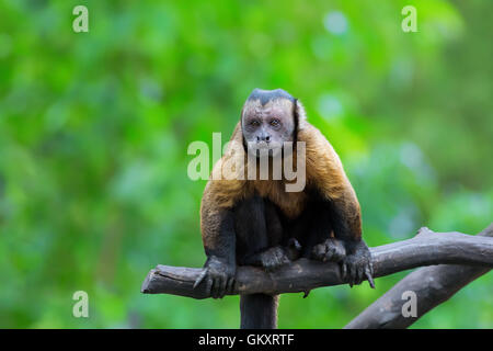 Brown Capuchin monkey - Stock Image