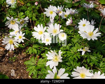 Early spring flowers of the ephemeral garden tuber, Anemone blanda 'White Splendour' - Stock Image
