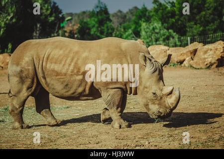 Rhinoceros eating in Rabat zoo - Stock Image