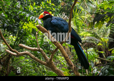 Violet turaco / violaceous plantain eater (Musophaga violacea) native to West Africa - Stock Image